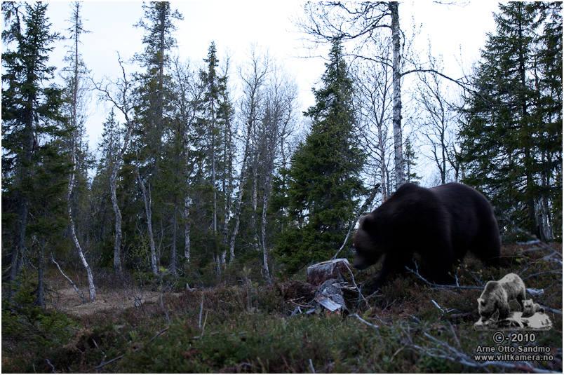 Stor og mørk hannbjørn