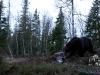 Stor og mørk hannbjørn i vårnatten