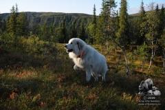 Gjeting/ Vokterhund 2008