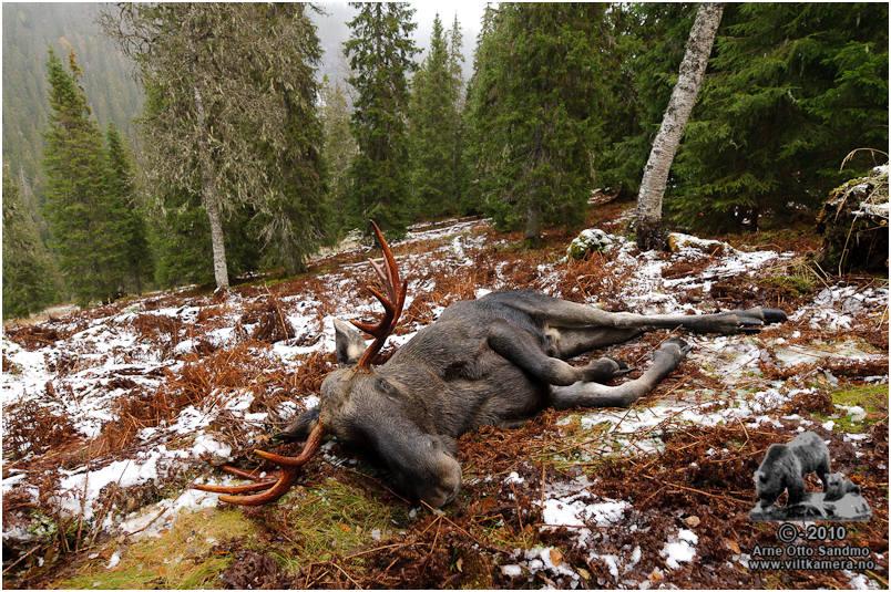 Oksen løp ca. 100 meter på skrå ned lia før den falt om.
