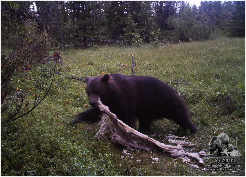 Bjørn ved kadaverrester etter sau