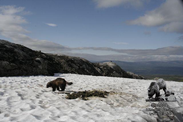Jerv på bjørnedrept sauekadaver