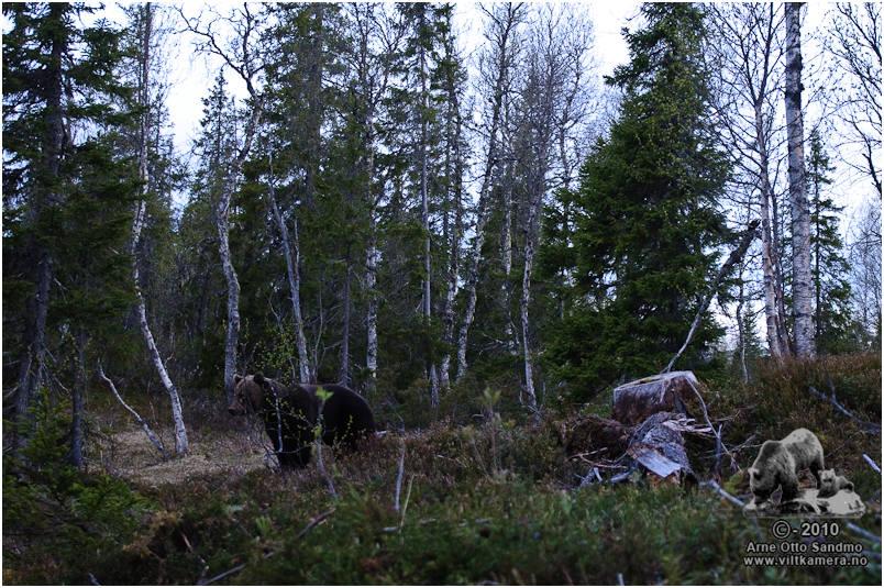 Stor hannbjørn trolig på binneleting