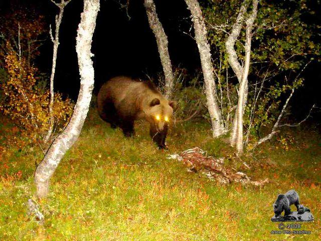 Hannbjørn ved sauekadaver