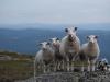 Sau med tre lam, Brandsfjelltoppen