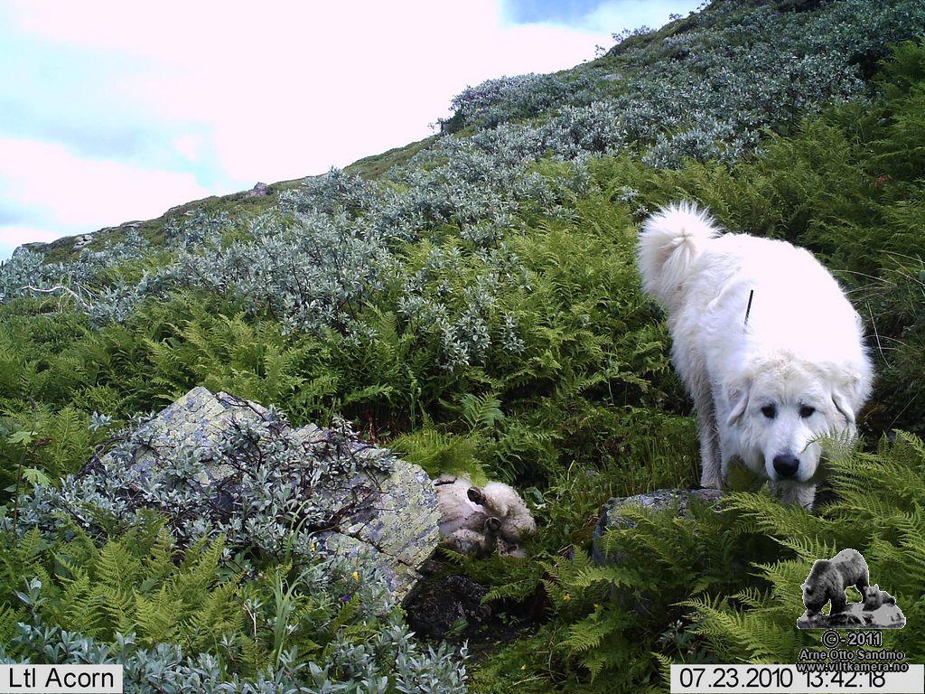 Vokterhund Estella ved sauekadaver (oppsett på stativ vist i testen)
